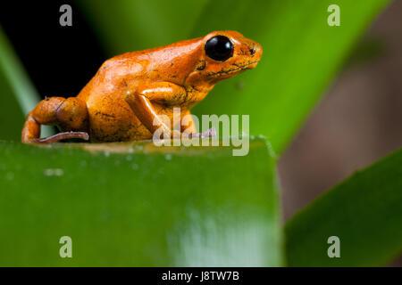 animal, amphibian, jungle, frog, poison, panama, toxic, poisonous, leaf, - Stock Photo
