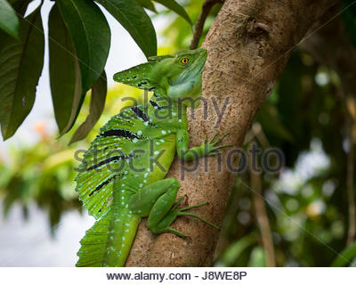 Plumed basilisk (Basiliscus plumifrons) on the tree, Tartuguero National Park, Costa Rica - Stock Photo