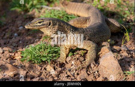 A Sand Monitor basking in the sun. - Stock Photo