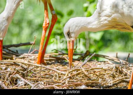 Image of a bird stork beak building a nest - Stock Photo