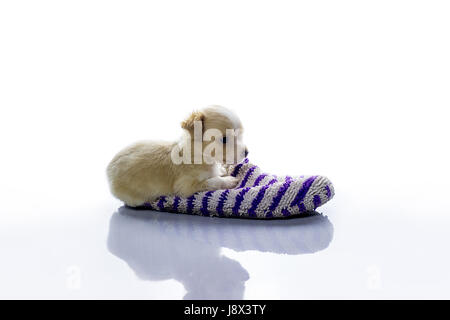 Small dog lies in a slipper on a white background - Stock Photo