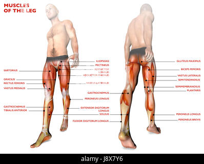leg muscles, human body, anatomy, muscle system. 3d rendering, Muscles