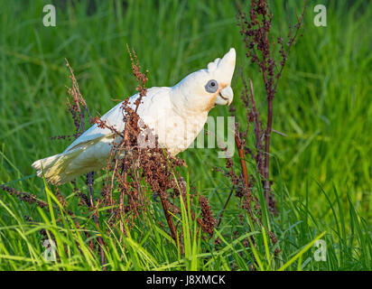 A Little Corella feeding on seeds at Herdsman Lake in Perth, Western Australia. - Stock Photo