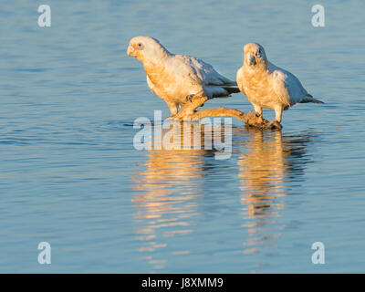 Two Little Corellas at a drinking spot at Herdsman Lake in Perth, Western Australia. - Stock Photo