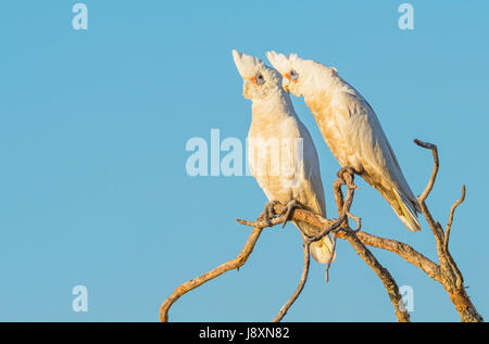 Two Little Corellas perched on a branch, at Herdsman Lake in Perth, Western Australia. - Stock Photo
