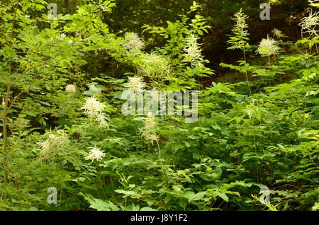 Aruncus dioicus, or Bride's Feathers, flowering in a European montane forest. The plant is also called Goat's Beard. - Stock Photo
