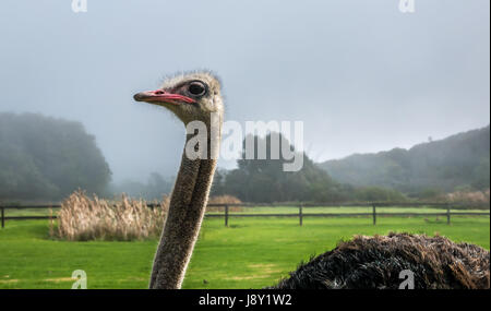 Close up of male ostrich, Struthio camelus, ostrich farm, Cape Peninsula, Western Cape, South Africa, with misty - Stock Photo