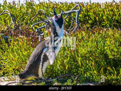 African or Jackass Penguin, Spheniscus demersus, braying with open mouth in sandy grass, Simon's Town, Cape Town, - Stock Photo