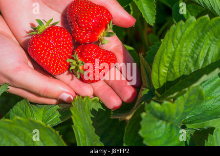 Three fresh picked delicious strawberries held over strawberry plants - Stock Photo