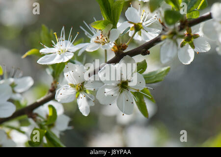 Blackthorn or sloe, Prunus spinosa, blossom with white profuse flowers backlit and ethereal on a sunny early spring - Stock Photo