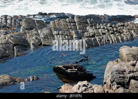 New Zealand fur seals on the rocks in Flinders chase national park on Kangaroo island,South australia. - Stock Photo