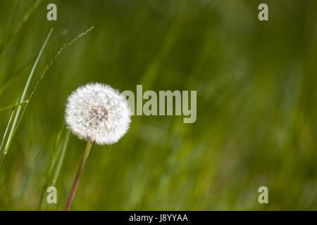 Common dandelion clock (Taraxacum officinale)  Model Release: No.  Property release: No. - Stock Photo