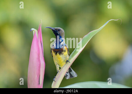 Single male olive-backed sunbird (Cinnyris jugularis) perching on a leaf after feeding on nectar in Bangkok, Thailand - Stock Photo