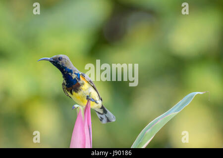 Lone male olive-backed sunbird (Cinnyris jugularis) perching on the pink flower after feeding on nectar in Bangkok, - Stock Photo