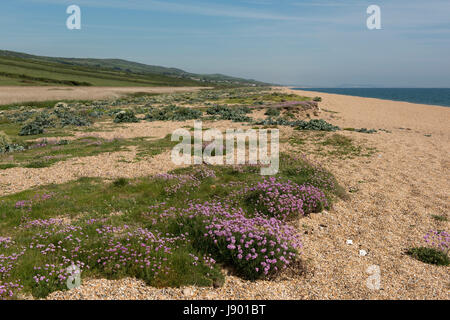 Thrift or sea thrift, Armeria maritima, with sea kale and other maritime flora, flowering on shingle at Chesil Beach - Stock Photo