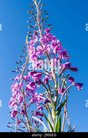 Pink fireweed flower against the blue sky. Lower shooting point. - Stock Photo