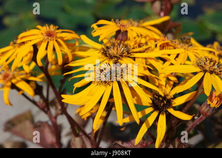 Yellow flowers (rough oxeyes, heliopsis helianthoides) with a bee sitting on them. - Stock Photo