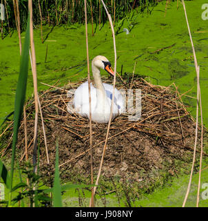Mute swan on nest - Stock Photo