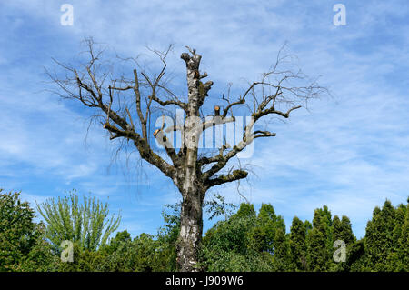 Old European white birch Betula pendula tree with branches removed, Vancouver, British Columbia, Canada - Stock Photo