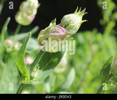 The unopened flower buds of the herb Salvia officinalis, also known as garden sage, or common sage, growing outdoors - Stock Photo