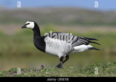 Barnacle Goose - Branta leucopsis - Stock Photo