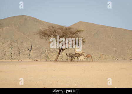 A small group of dromedaries( camels) finds refuge under an acacia tree during the heat of the day in the Egypt - Stock Photo