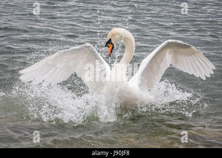 London, UK. 30th May, 2017. Mute swan on Canada Water pond © Guy Corbishley/Alamy Live News - Stock Photo