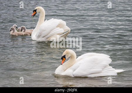 London, UK. 30th May, 2017. Mute swans with newly hatched cygnets on Canada Water pond © Guy Corbishley/Alamy Live - Stock Photo
