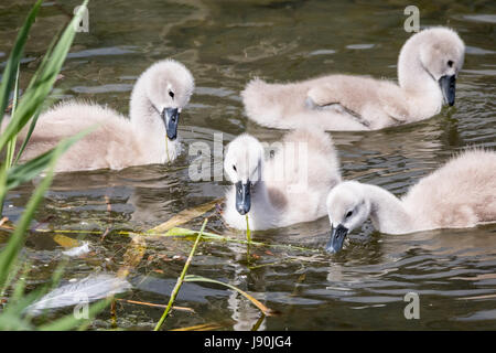 London, UK. 30th May, 2017. Newly hatched Swan cygnets on Canada Water pond © Guy Corbishley/Alamy Live News - Stock Photo