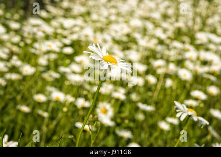 Rampton Cambridgeshire 31st May 2017. Wild Ox Eye daisy flowers bloom in a meadow in the warm summer weather. Temperatures reached 24 degrees centigrade in late afternoon sunshine on a day of mixed sun and clouds in the village just outside Cambridge. Credit Julian Eales/Alamy Live News