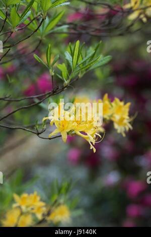 Rhododendron Luteum. Yellow azalea - Stock Photo
