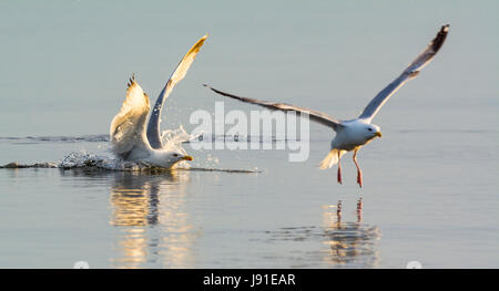 Seagulls in the sea in lovely light in the late evening. - Stock Photo