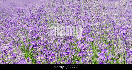 Field of mauve, purple Lavandula angustifolia, lavender, most commonly True Lavender or English lavender, garden - Stock Photo
