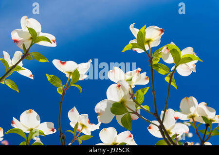 Beautiful Dogwood blossoms on a glorious spring morning. - Stock Photo