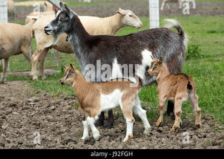 Goats and Sheep outdoors on a farm
