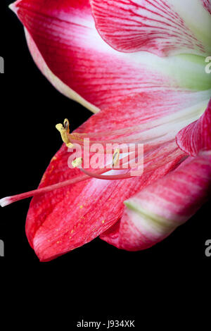 amaryllis flower against a black background - Stock Photo