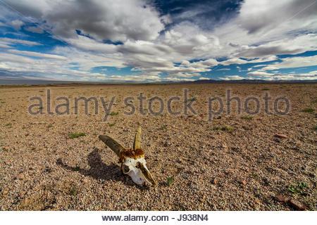 Skull of roe deer on stony ground in the desert - Stock Photo