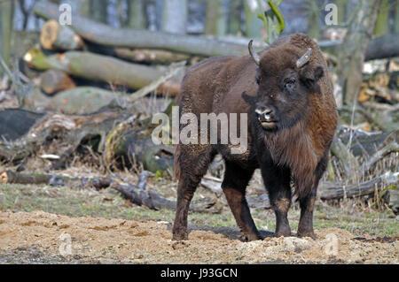 cattle, ruminant, bison, cattle, ruminant, bison, european, wildrindart, - Stock Photo