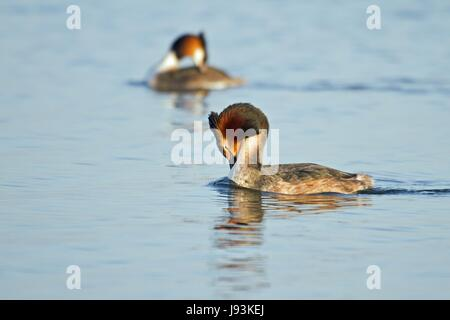 grebes - Stock Photo