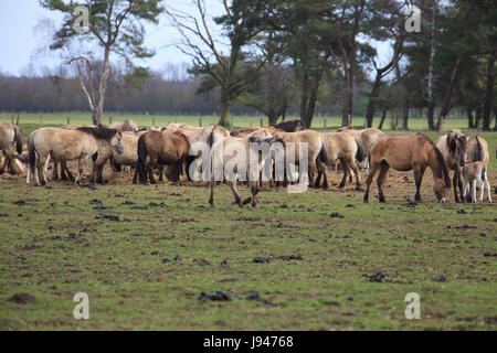 wild, horse, horses, herd, reservation, glade, germany, german federal - Stock Photo