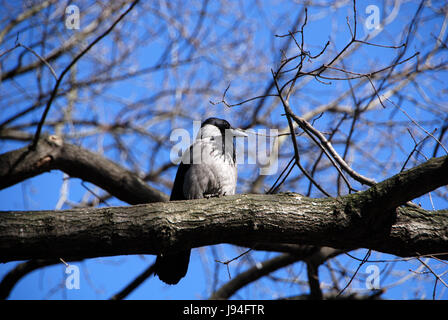 hooded crow on the branch - Stock Photo