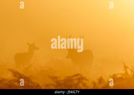 Red Deer rut stag (Cervus elaphus) rounding up female hinds at sunrise - Stock Photo
