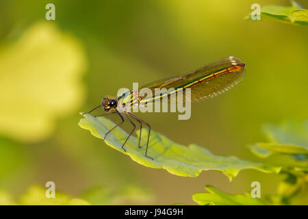 Closse up of green iridescent female Banded Demoiselle (Calopteryx splendens) perched on oak leaf - Stock Photo