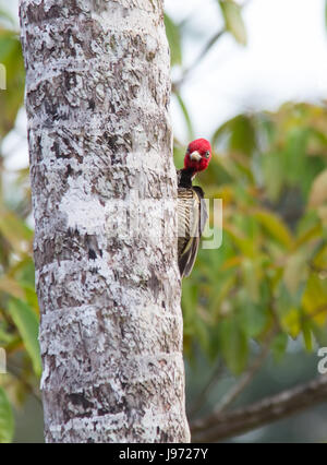 Pale-billed Woodpecker clinging to a tree - Stock Photo