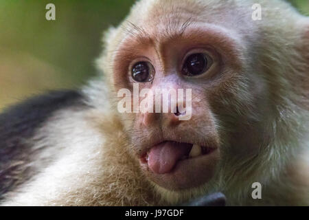 Close up of the face of a capuchin monkey sticking out its tongue in Manuel Antonio National Park in Costa Rica - Stock Photo
