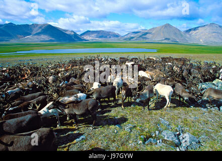 Nomadic Chukchi reindeer herd on the Chukchi or Chukotka Peninsula, in the Russian Far East. - Stock Photo