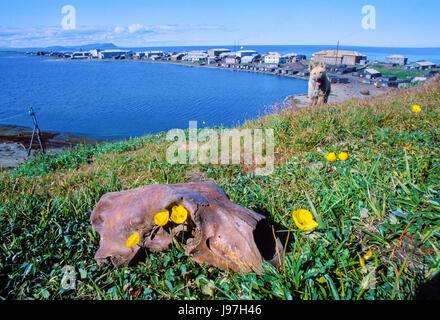 Fossil polar bear skull at Yupik village of Uelen, Chukotka, Russia Far East. Many ancient archeological sites dot - Stock Photo