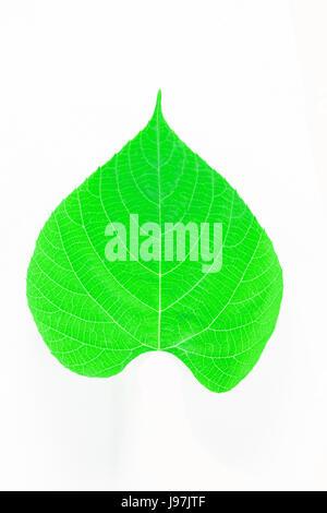 Bodhi leaf isolated on white background - Stock Photo