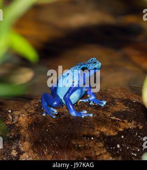 Dyeing poison dart frog (Dendrobates tinctorius). - Stock Photo