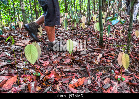 Trekking in the remote Heart of Borneo rainforest in West Kalimantan, Borneo. - Stock Photo